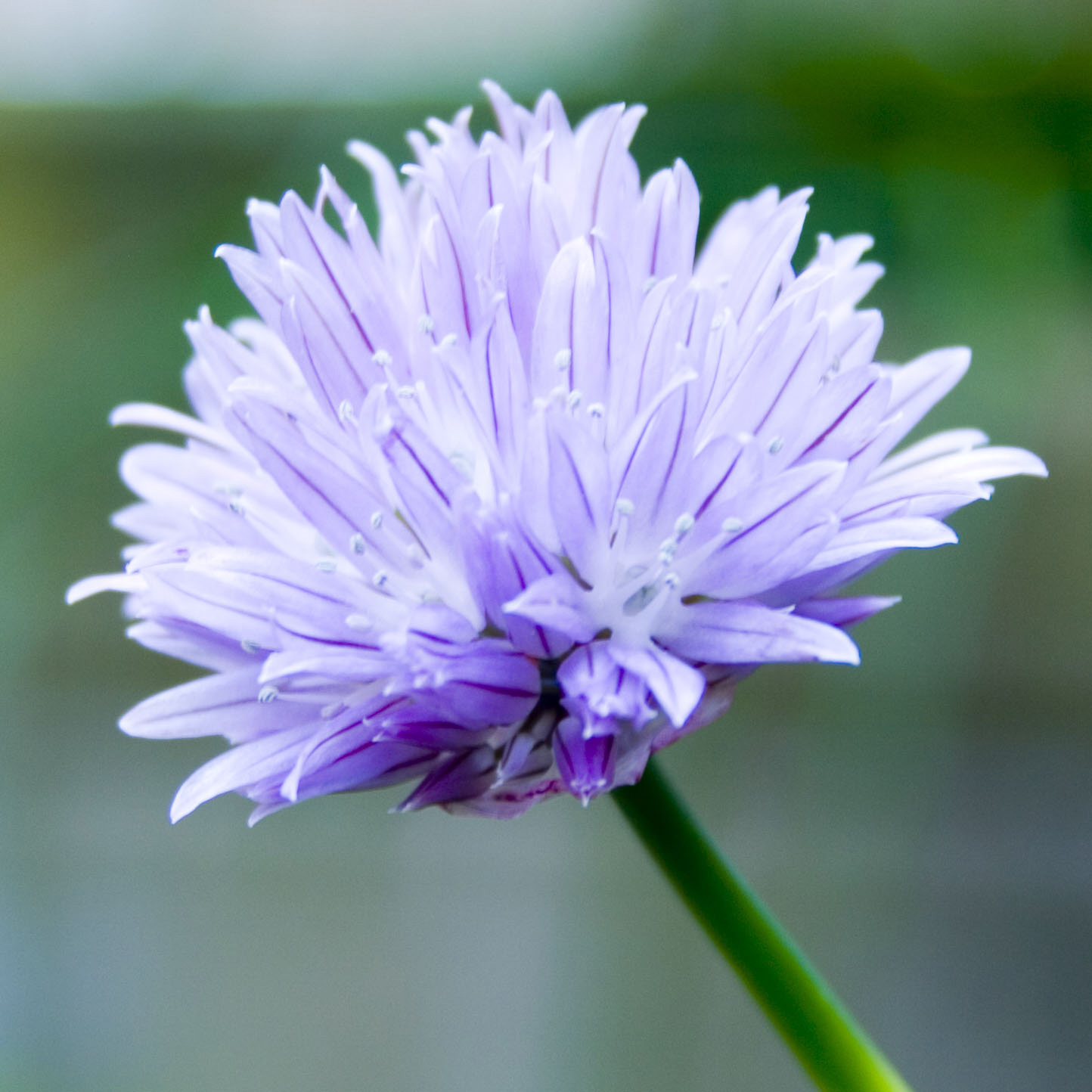 Chives, Glorious Chives