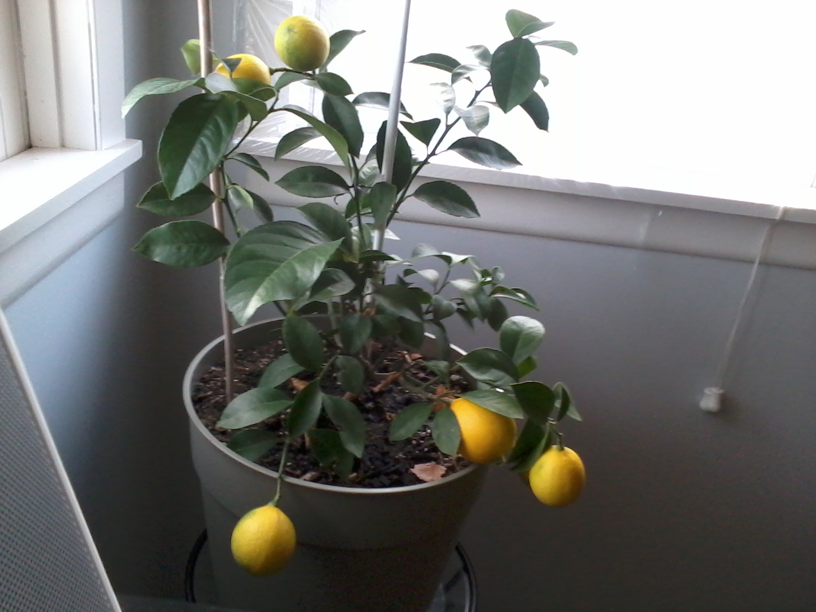 Grow your own citrus year round - even in the frigid North!