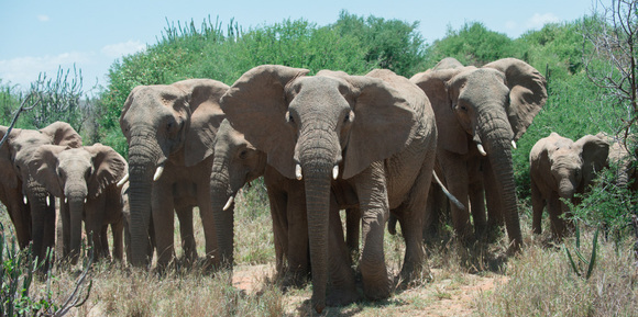 Why We Must Act Now To Save African Elephants